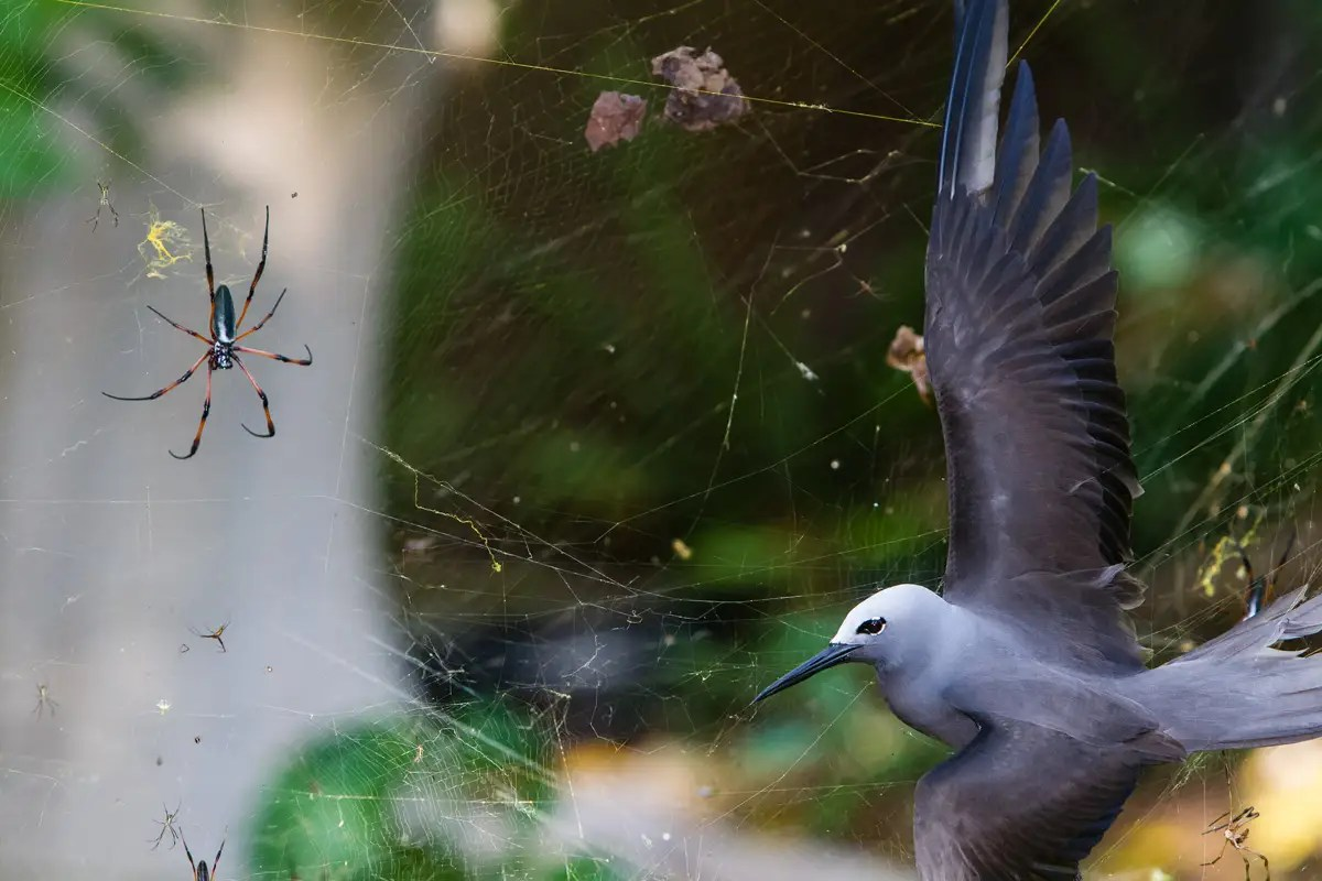 """Sticky Situation"" — Isak Pretorius from South Africa found a lesser noddy, a bird that flies to an island in the Seychelles to breed, entangled in the large web of a red-legged golden orb-web spiders. The female spiders can grow to the size of a human hand."