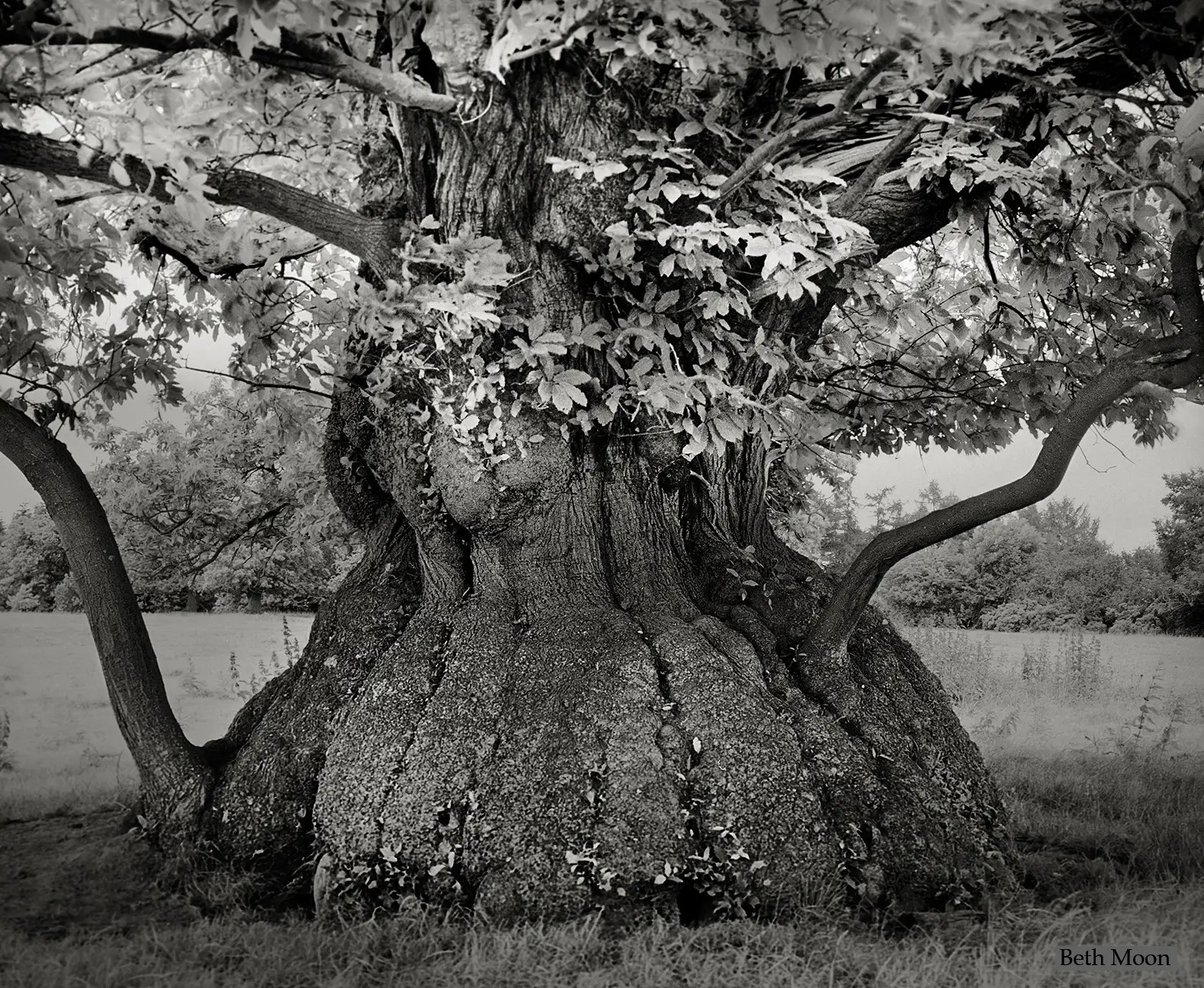 This massive Chestnut tree is on the grounds of the Croft Castle in Herefordshire, England. Rumor has it that the tree was planted using nuts that had been salvaged from a Spanish Armada that famously shipwrecked in 1592, which would make the tree over 420 years old.