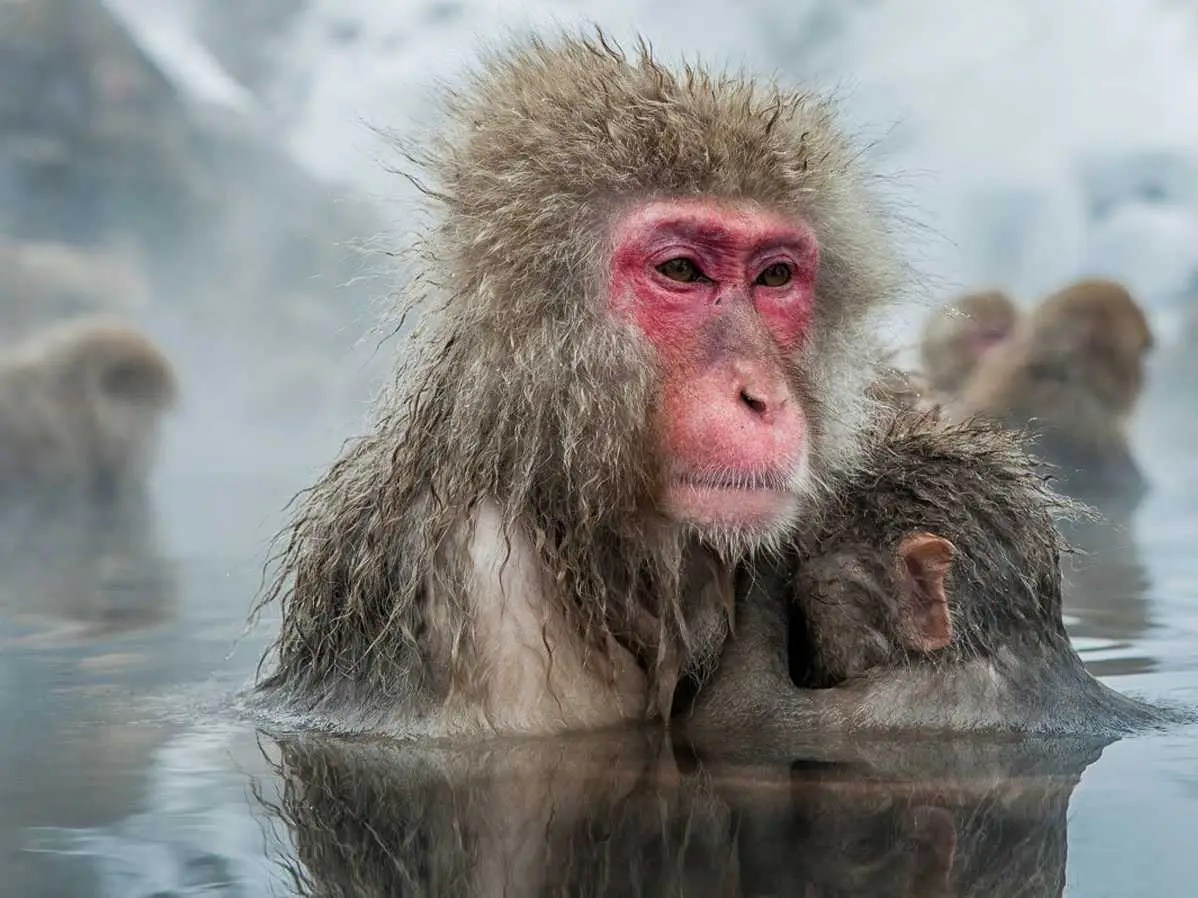 Get up close and personal with Japanese snow monkeys who come to bathe in the hot springs of Japan's Jigokudani Yaen-koen in Nagano.