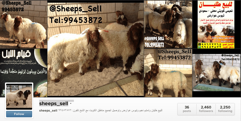 sheeps sell kuwait