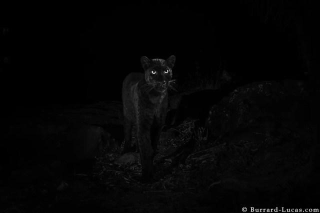 willbl black leopard 6