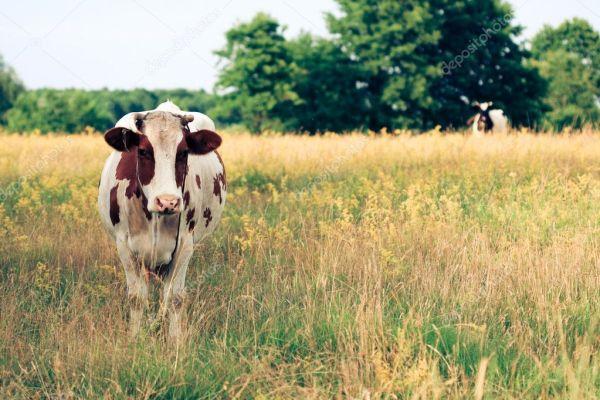 Корова на лугу — Стоковое фото © nikuwka #1810842