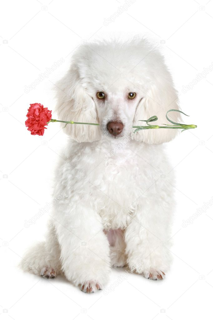 White Poodle Puppy With Red Flower Stock Photo