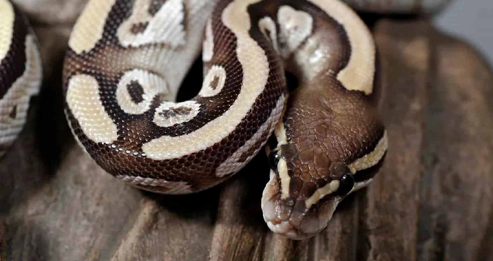 10 Most Expensive Breeds of Snake You Can Buy | Best Ten News