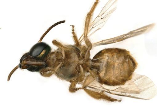 The strange bee showing half body of male (left) and female (right) Chelsey Ritner / Utah State University