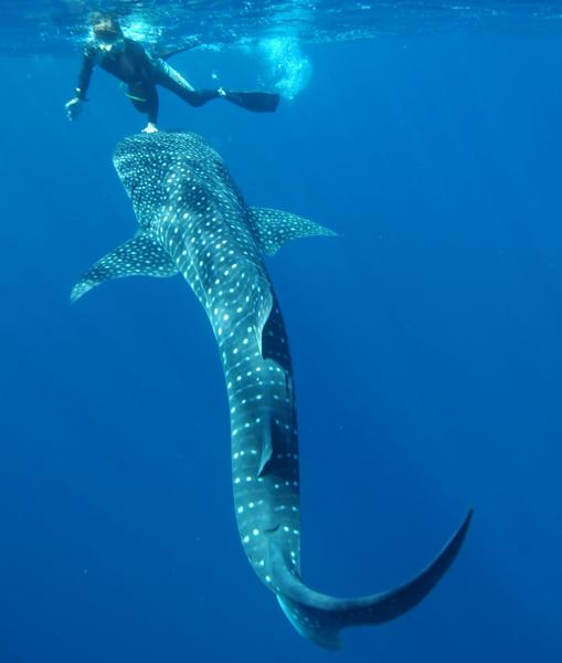 AIMS researcher Mark Meekan swimming with a whale shark