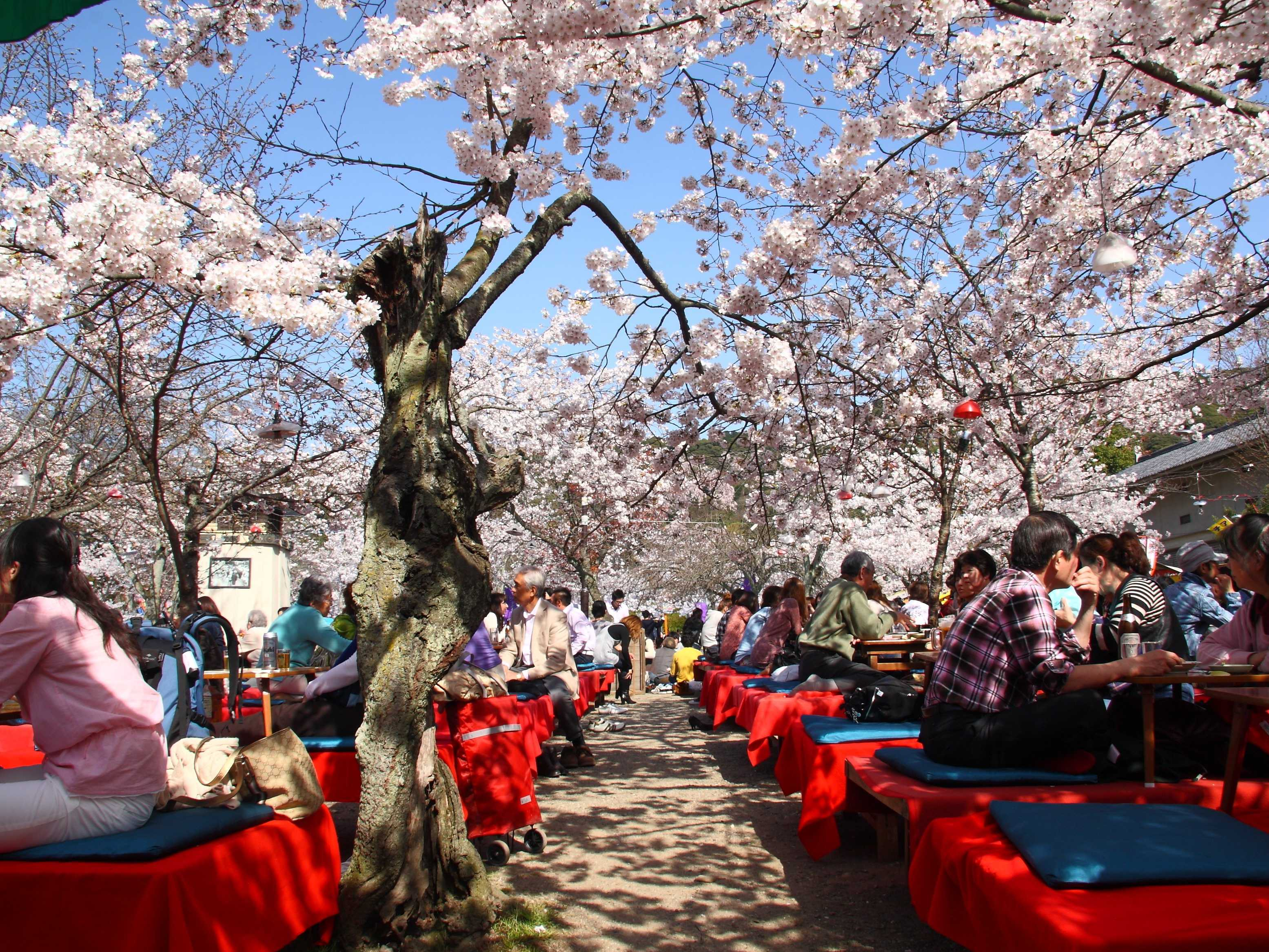 Walk under the budding cherry blossoms in Kyoto, Japan.