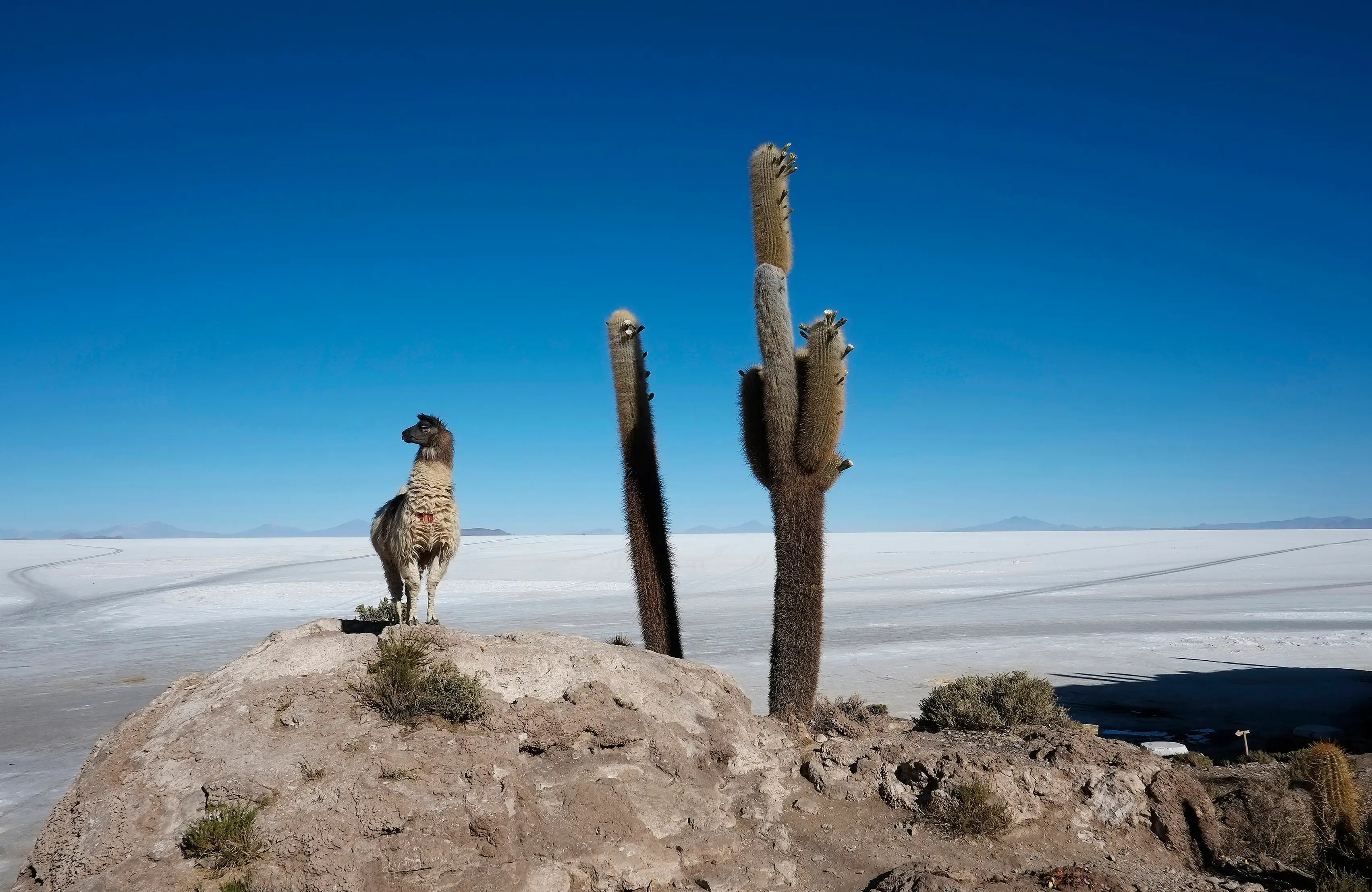 A llama stands next to a cactus growing on Incahuasi Island above the Uyuni salt lake, which holds the world's largest reserve of lithium.