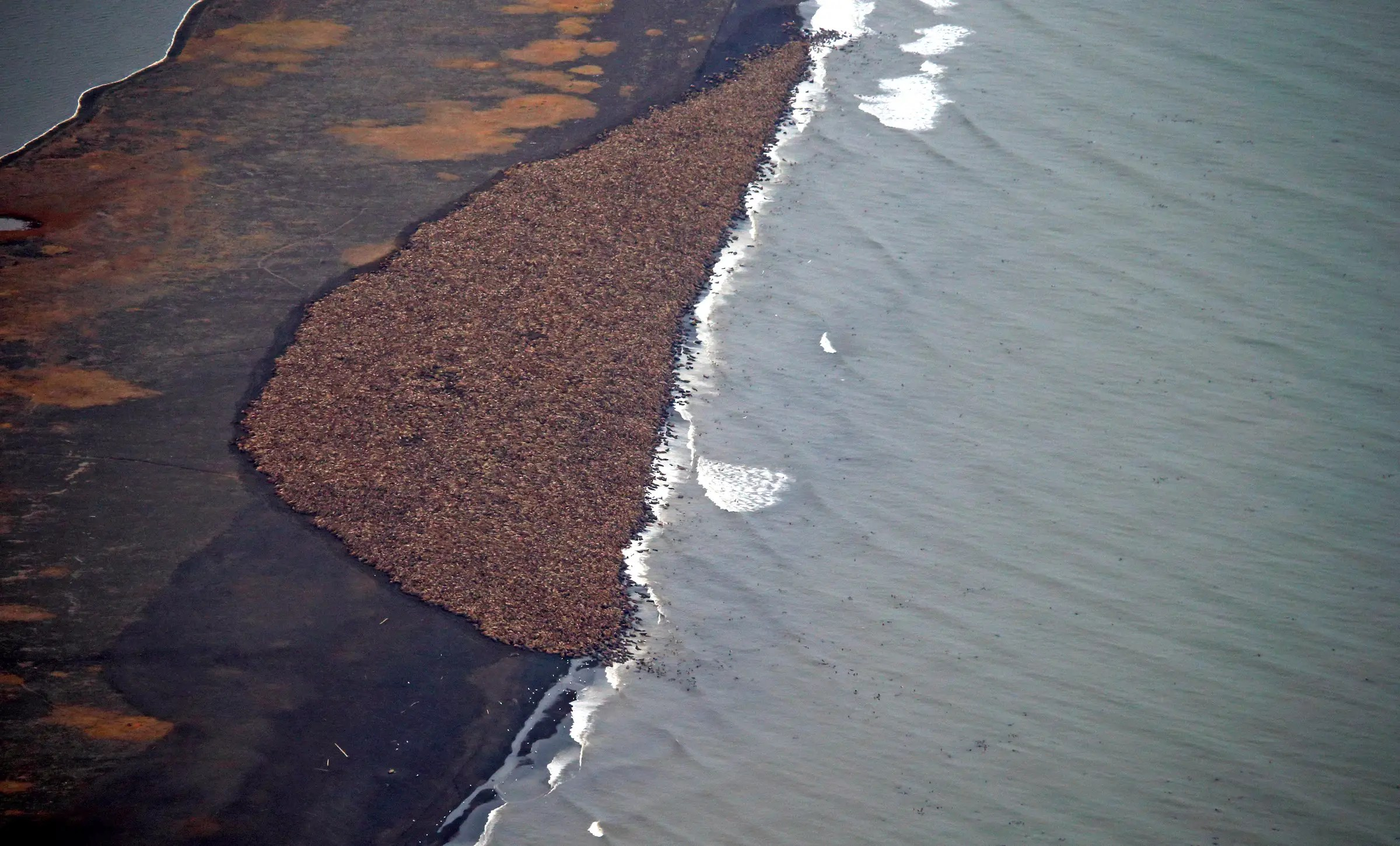 About 35,000 walruses suddenly and surprisingly gathered together in one place on the Alaskan coast in October.