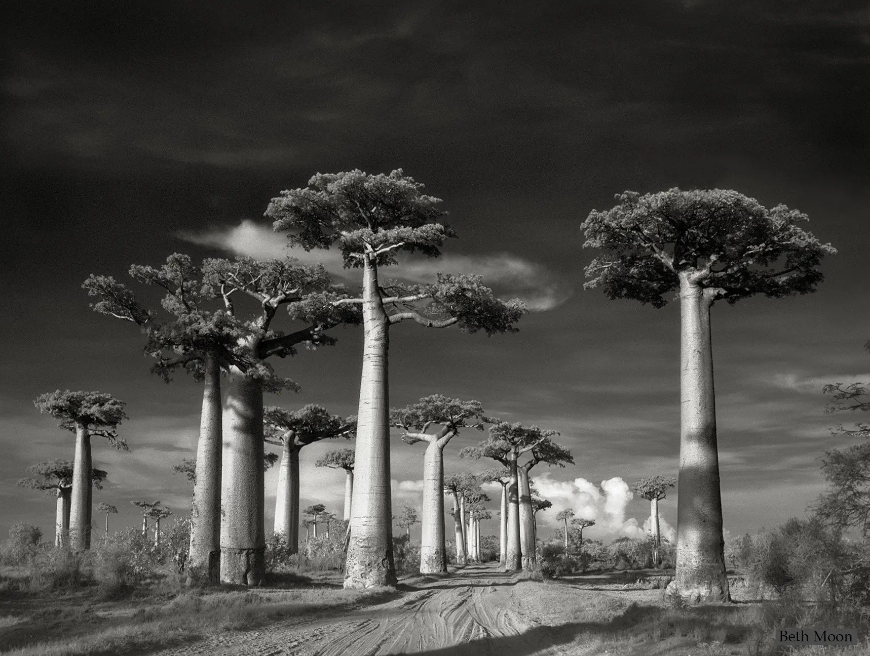 One of the most popular tourist attractions in Madagascar, the Avenue of the Baobabs, is a dirt road flanked by about 25 Baobab trees, which are only found on the island and which grow to be almost 100 feet tall. The trees along the avenue are thought to be as old as 800 years.
