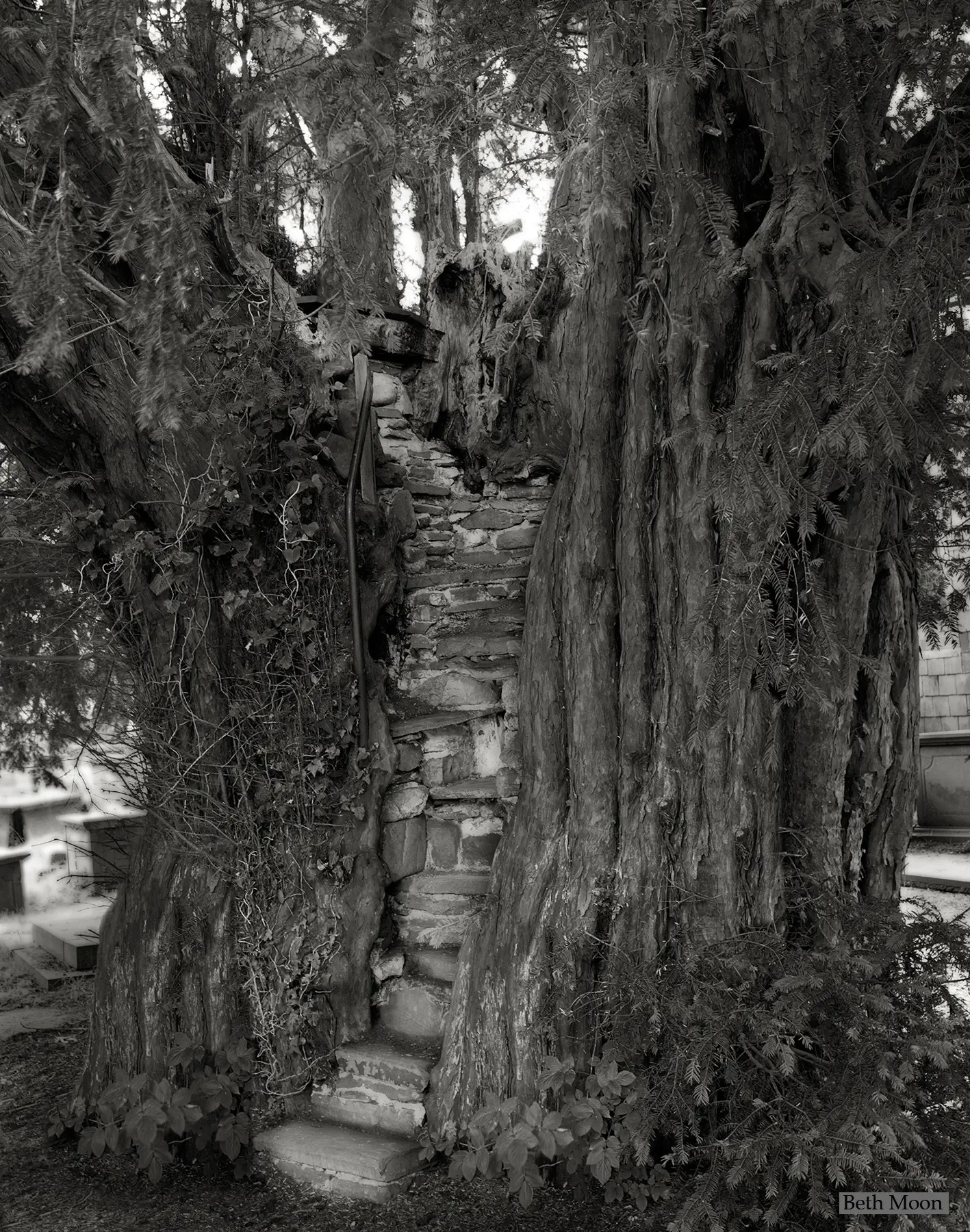 This tree, another ancient Yew, grows in the churchyard of a small parish church in rural Wales. Built into the trunk of the tree is a pulpit, complete with steps and a chair, from which sermons would be given, as far back as the 1850s.