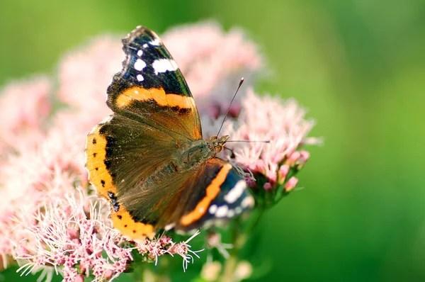 Метелик, сидячи на квіти лаванди. — Стокове фото ...