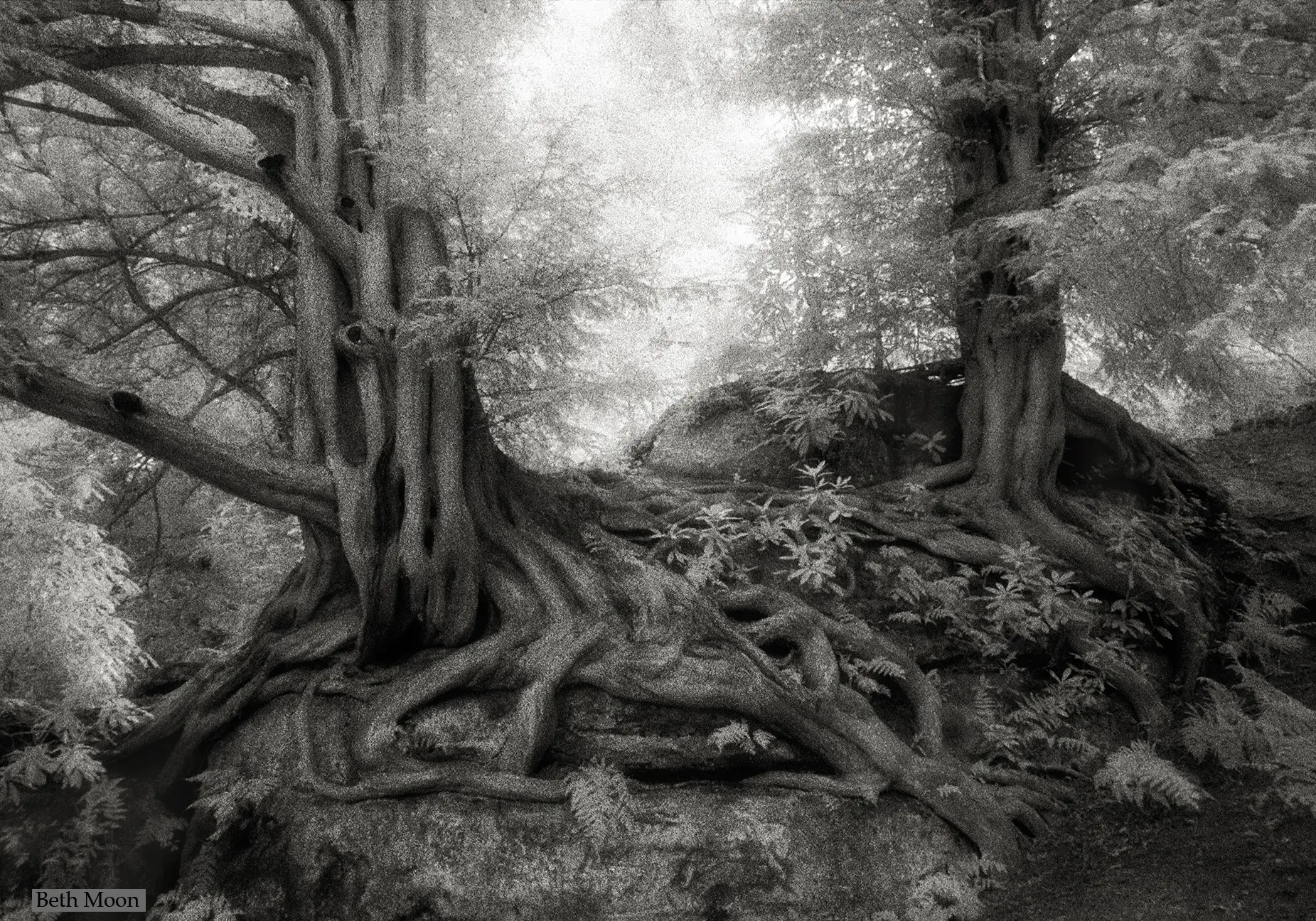 The Yew trees of Wakehurst Place in West Sussex, England, have been recently dated as far as the year 1391. The trees are still growing strong.