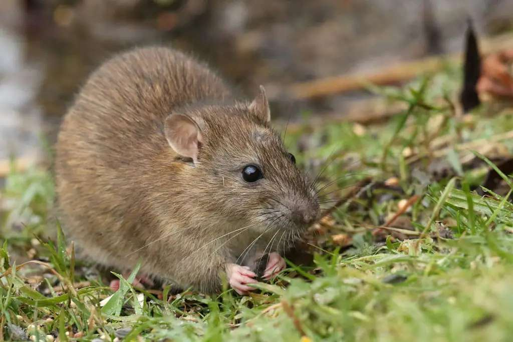 We aren't saying that rat hairs are the secret ingredient of your favorite chocolate bars ... but they might make accidental guest appearances. The FDA allows one rat hair per 100 grams in six 100-gram subsamples of chocolate.