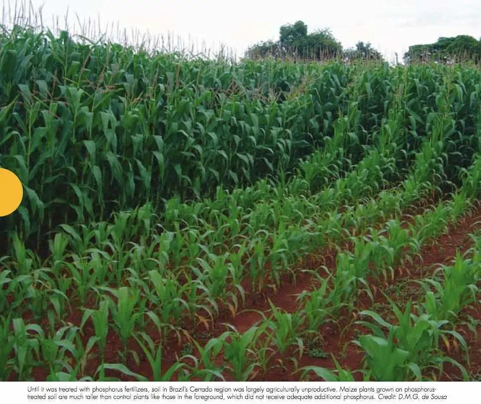 Phosphate is a critical ingredient of fertilizer, and there is no substitute for it (because plants are partially made from it). This photo shows the difference between corn fertilized with phosphorus (background) and corn without.