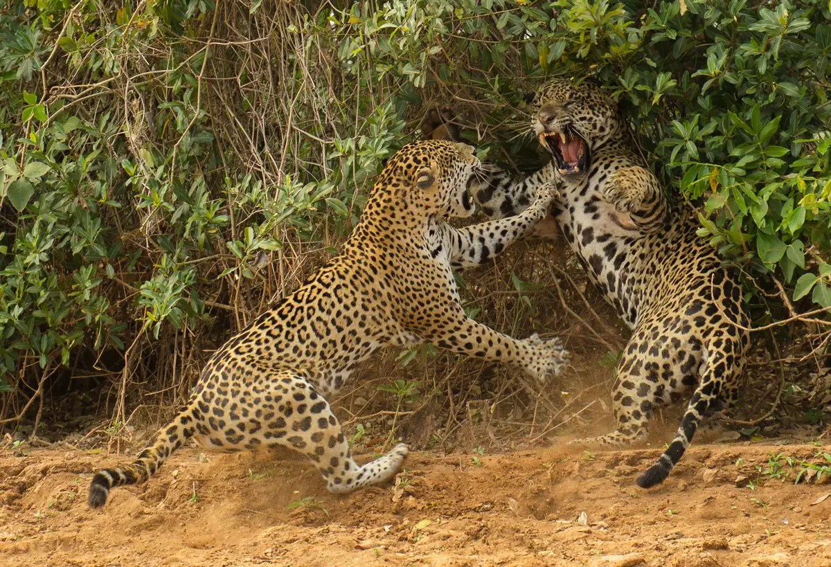 """The Spat"" — Joe McDonald from the United States watched a female jaguar attack a male companion near a river in Brazil."