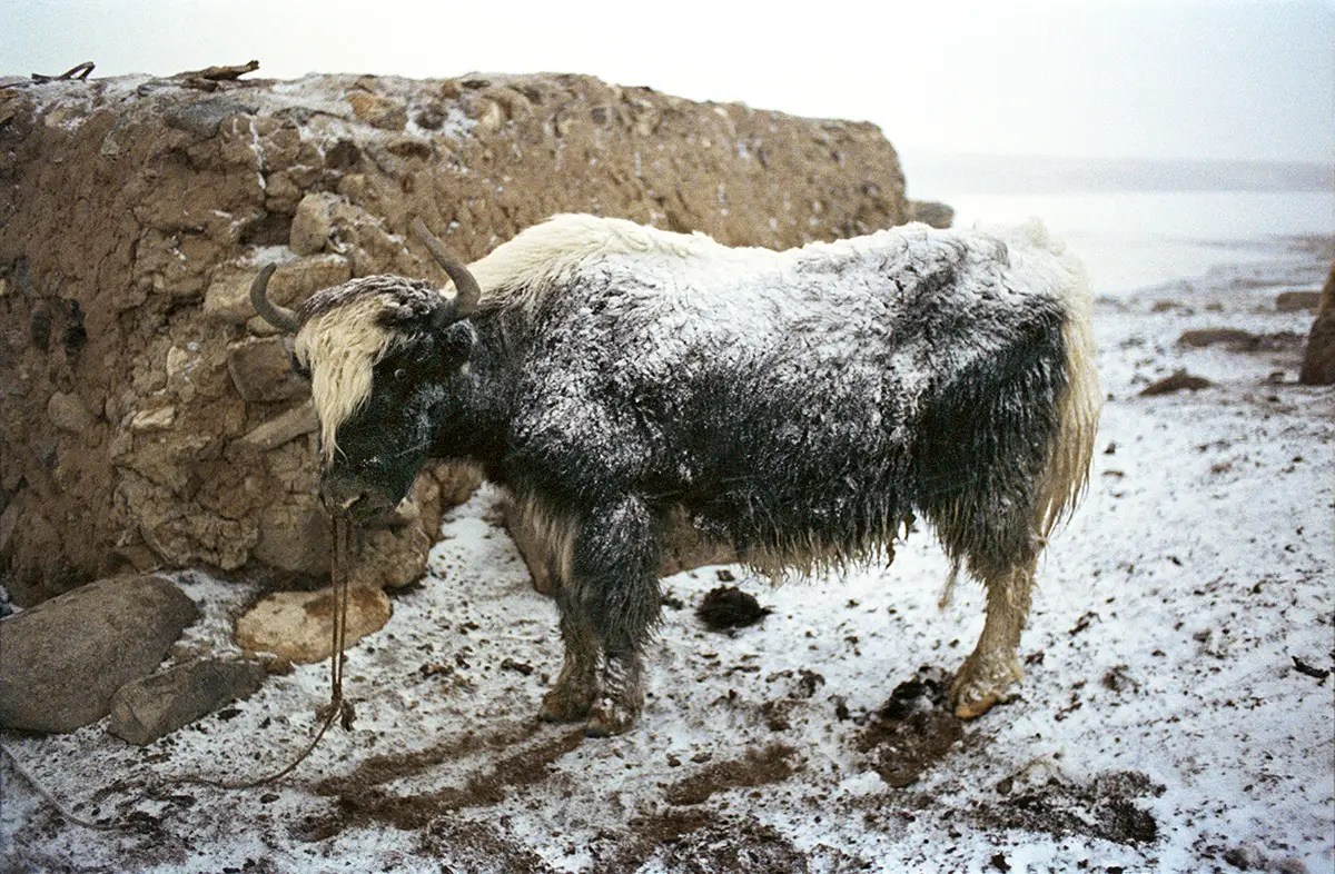Both survive by herding cattle, primarily sheep and yaks.