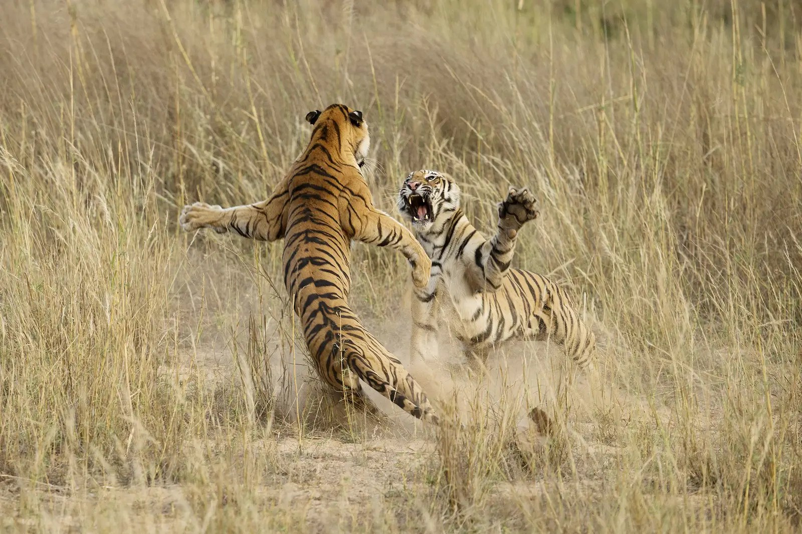"""This shot, """"Muscle Power,"""" by Archna Singh, shot in the Bandhavgarh National Park in Madhya Pradesh, India, was an honorable mention in the 2014 National Geographic Photo Contest."""