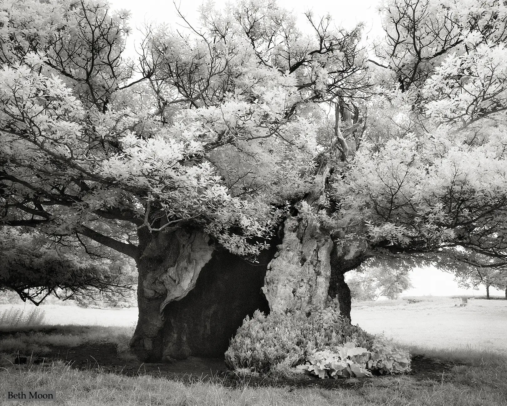 The Queen Elizabeth Oak is an ancient tree growing near Cowdray Park in England. It is estimated to have begun growing in the 11th or 12th century and has a girth of 52 feet at its widest point. It is thought to have got its name after a visit from the Queen to Viscount Cowdray's estate in 1591.