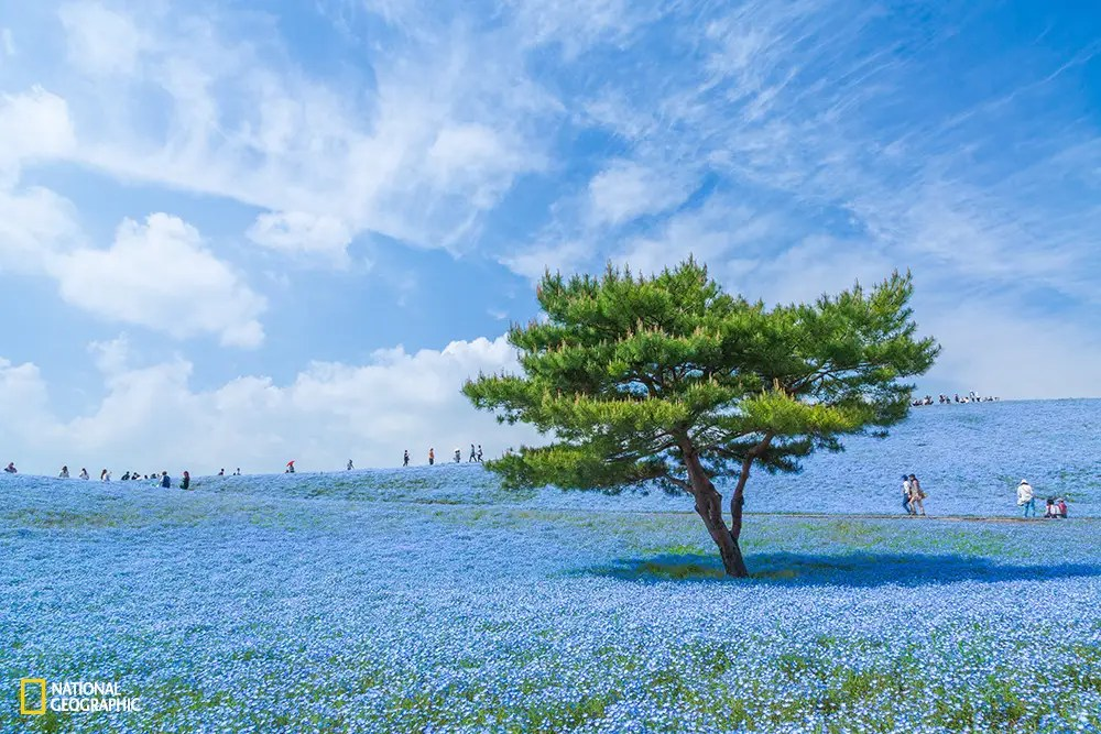 In Hitachi Seaside Park in Ibaraki Prefecture, Japan, you'll find 4.5 million of these baby blue flowers. The best season to see them is usually from the end of April to the first week of May.