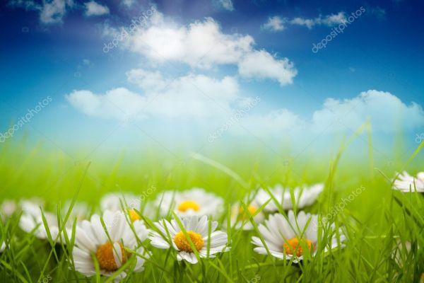 Летний фон - поле из маргаритки и голубого неба — Стоковое ...