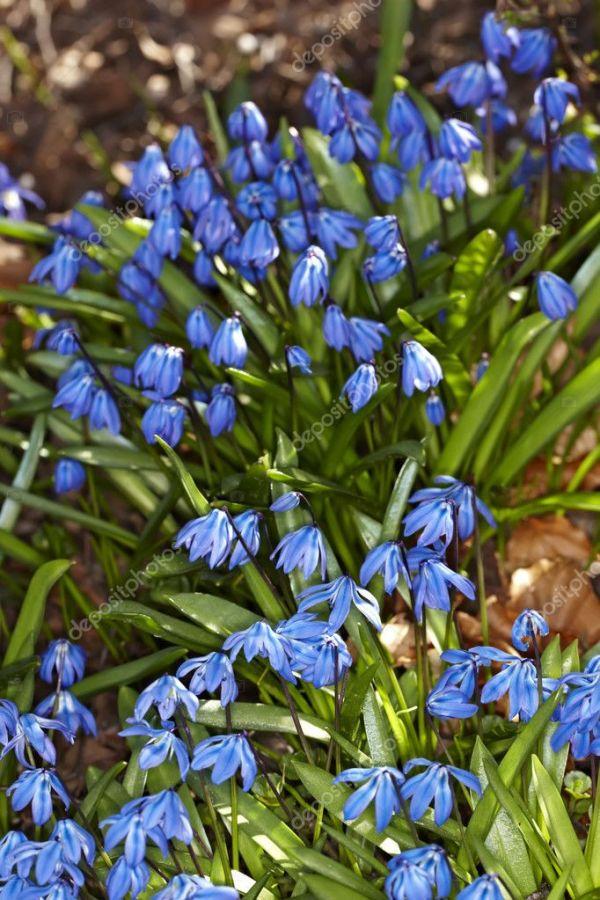 Голубые цветы весной — Стоковое фото © Dhoxax #6546247
