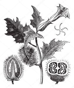 Resultado de imagen de datura stramonium dibujo
