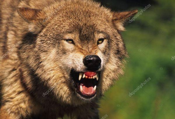 Snarling Wolf Stock Photo 169 twildlife 5849322