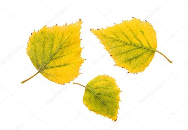 Листья березы — Стоковое фото © ligora #6918023