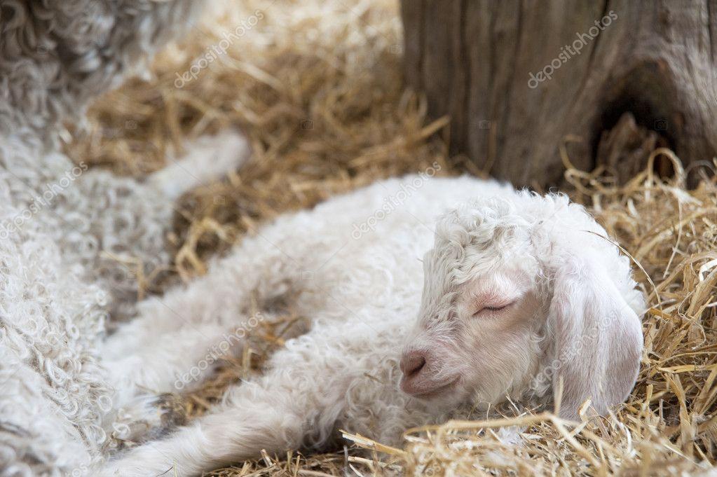 Adorable Spring lamd sleeping in farmyard — Stock Photo #7090080