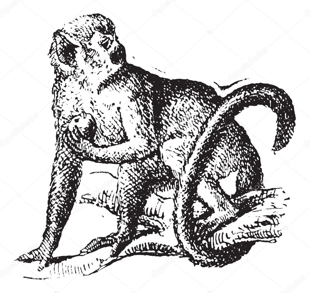 Squirrel Monkey Or Saimiri Vintage Engraving