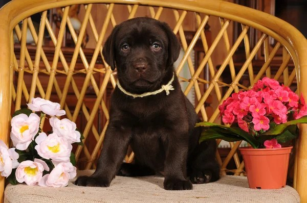 Портрет щенка Лабрадора — Стоковое фото © grase #9782754