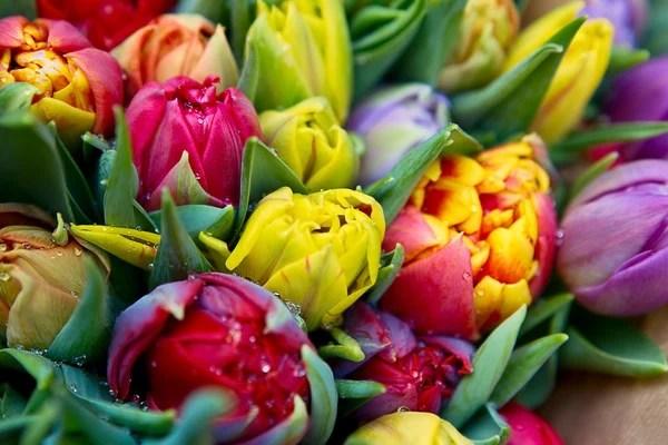 ᐈ Тюльпаны: фото и картинки цветы тюльпаны сиреневые ...