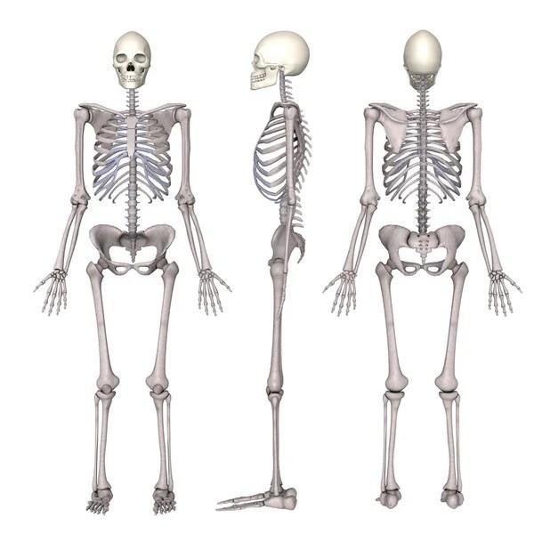 Картинки скелета. Скелет спереди и вид сзади. Пластиковый ...