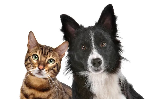 Áˆ Cats Stock Pictures Royalty Free Dog And Cat Images Download On Depositphotos