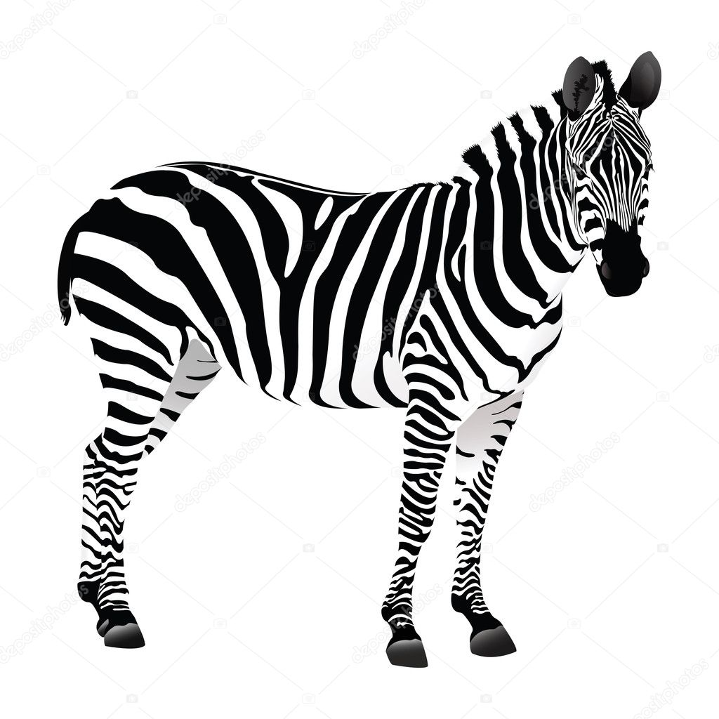 Balack And White Zebra