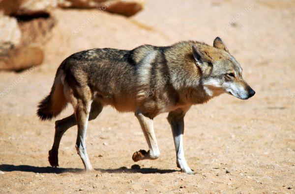 Фотографии дикой природы - волк — Стоковое фото ...