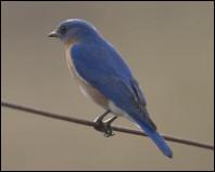 bluebirdthumb by rodney cammauf nps