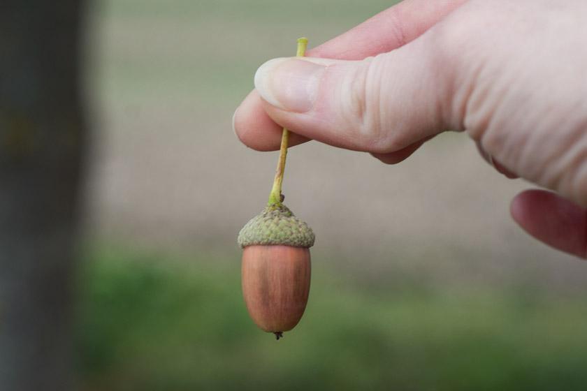 Holding acorn