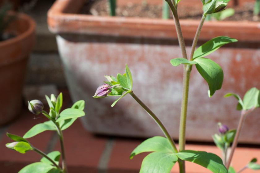 Pinky purple flower bud