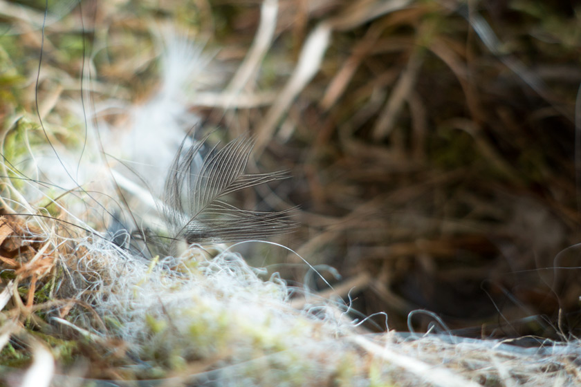 Fine feather in nest