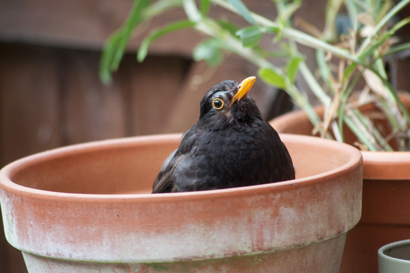 Blackbird in garden pot