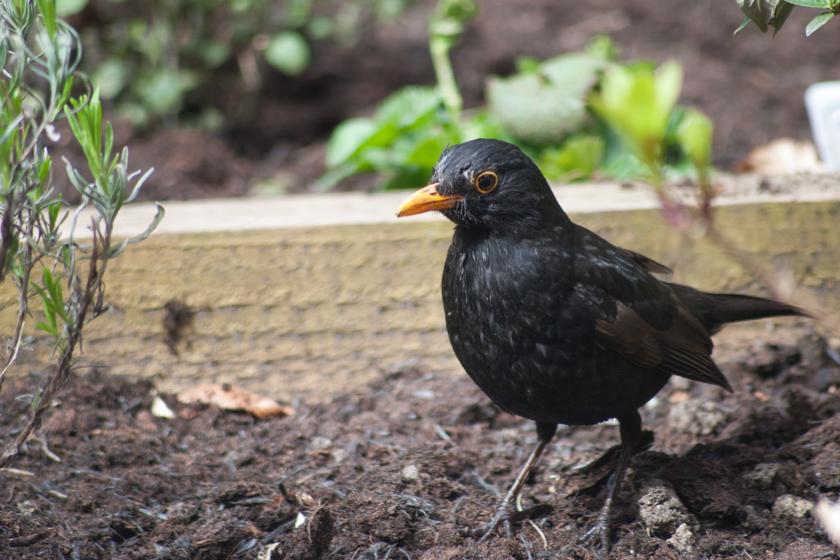 Blackbird standing on soil