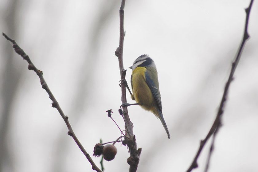 Blue tit in tree