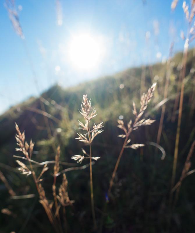 Meadow grass in the sun