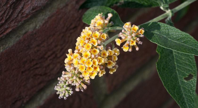 Yellow buddleja flowers