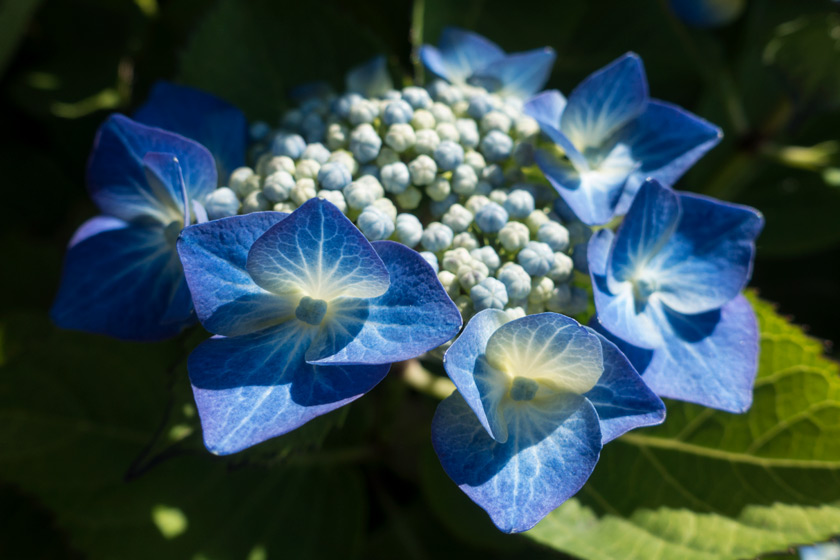 Bright blue hydrangea flowers