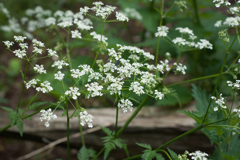 Closeup of cow parsley