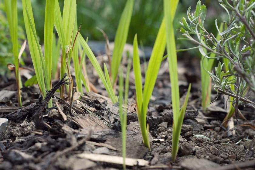 Green crocosmia shoots