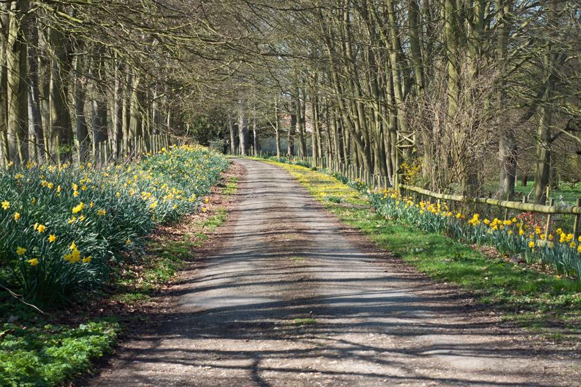 Daffodils at the roadside